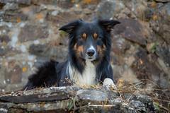 Yatzy (Flemming Andersen) Tags: stone dog bordercollie outdoor yatzy hund pet animal