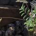 keel beak, Astragalus acutirostris