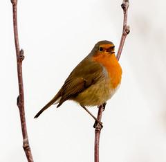 Rainham 04.12.18 singing Robin