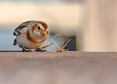 Snow Bunting (AnthonyVanSchoor) Tags: anthonyvanschoor maryland usa