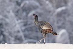 Dindon sauvage / Wild Turkey (alainmaire71) Tags: oiseau bird phasianidae meleagrisgalloparvo dindonsauvage wildturkey nature quebec canada hiver winter neige snow bokey