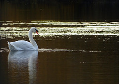 Cygnus olor (Vulpe Photographie) Tags: nature oiseau oiseaux bird birds ornitho ornithologie ornithology wildlife wildlifephoto wildlifephotography france normandie normandy eure sony dschx400v animal
