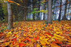 The golden leaf ... (ej - light spectrum) Tags: autumn herbst leaves blätter colorful farbig forest wald november 2018 fujifilm xt2 schweiz suisse svizzera switzerland landscape landschaft xf1024mmf4r nature natur trees bäume boden ground