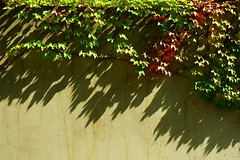 Vine in Sunshine (Dan Daniels) Tags: vines shadows leaf leaves walls audan nikon riehenbsch kantonbaselstadt switzerland schweiz suisse svizzera patterns shadow