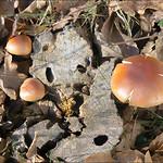 Hypholoma-lateritium_33 thumbnail