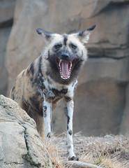 G08A1229.jpg (Mark Dumont) Tags: african dog painted zoo mark dumont mammal cincinnati