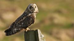 Brandugla - Shoarteared Owl (Helga Guðmundsdóttir) Tags: brandugla