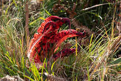Clathrus archeri - devil's fingers (Steve Balcombe) Tags: fungus clathrus archeri devilsfingers newforest hampshire uk