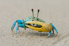 Beautiful blue crab with yellow claw (elmanther123) Tags: blue yellow crab animal claws shell sandy beach food biology ecology marine life shellfish wild alive live aquatic sealife raw seafood one isolated ocean critter nipper pincer nature defend attack bay creature