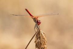 Sympetrum fonscolombii (Giorgia_Amendola) Tags: entomology entomologia insects insetti invertebrates dragonflies sympetrum animals macro macrophotography macrofotografia d5500 tamron 90mm