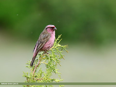 Himalayan White-browed Rosefinch (Carpodacus thura) (gilgit2) Tags: avifauna birds canon canoneos7dmarkii category fauna feathers geotagged gilgitbaltistan himalayanwhitebrowedrosefinchcarpodacusthura hunza imranshah location pakistan shisparether species tags tamron tamronsp150600mmf563divcusd wildlife wings gilgit2 carpodacusthura