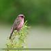 Himalayan White-browed Rosefinch (Carpodacus thura)