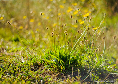 Herbes folles (patoche21) Tags: bourgogne bourgognefranchecomte cotedor chevignystsauveur europe fleur flore france nature plante herbe patrickbouchenard burgundy flora plant herb garden green flower