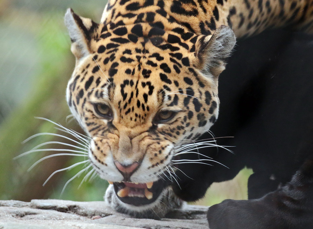 the world's newest photos of dier and jaguar - flickr hive mind