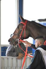 2018-11-03 (31) r6 #2 Hidden Bamboo - 'Placed' - missing left eye (JLeeFleenor) Tags: photos photography md marylandracing maryland marylandhorseracing laurelpark outside outdoors horses thoroughbreds equine equestrian cheval cavalo cavallo cavall caballo pferd paard perd hevonen hest hestur cal kon konj beygir capall ceffyl cuddy yarraman faras alogo soos kuda uma pfeerd koin حصان кон 马 häst άλογο סוס घोड़ा 馬 koń лошадь
