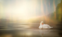 Lake and fog. (augustynbatko) Tags: fog mist nature water sky landscape bird swan blur
