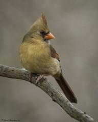 2I1A1019a (lfalterbauer) Tags: cardinal canon 7dmarkii dslr ornithology cornell avian camera digital adobe lightroom outdoor bird newbritain peacevalley