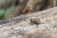 20000101_Tumacacori_2593 (delaneykempf) Tags: amphibians arizona deanzatrail edited herps patagonia santacruzcounty toads tumacacori
