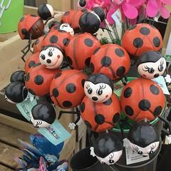 Ladybirds (Bruce82) Tags: appleiphonese ladybugs ladybirds coccinellidae 14 14of119 119picturesin2019 beetles