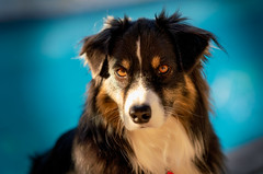 Staring Down 2019 (jayvan) Tags: dash aussie australianshepherd pool poolside toned phoenix az roadtrip