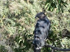 Crowned eagle - Stephanoaetus coronatus (Linda DV) Tags: stephanoaetuscoronatus crownedeagle accipitriformes nearthreatenediucn31 lindadevolder africa 2018 lumix travel geotagged nature kenya fauna nakuru lake nakurunationalpark