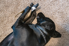 2019-016/365 Best Friends (Sharky.pics) Tags: labrador usa 365project pet jet wisconsin dog animals blacklabrador unitedstates 2019 january waukesha