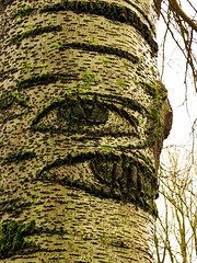 Picasso Tree (Mattijsje) Tags: populier populus ratelpopulier ogen picasso stam boom boomstam eyes eye bark branches nature