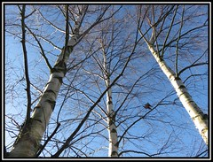 Silver And Blue (M E For Bees (Was Margaret Edge The Bee Girl)) Tags: silverbirch trees betula up blue sky canon countyside three branches growing tall winter outdoors garden sun light