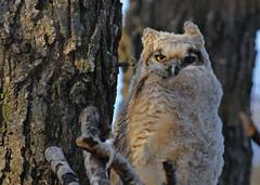 Great Horned Owlet...#1 (Guy Lichter Photography - 4.4M views Thank you) Tags: canon 5d3 canada manitoba winnipeg wildlife animal animals bird birds owl owls greathornedowl owlet