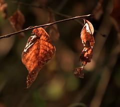 Great browns (eric zijn fotoos) Tags: macro blad leaf wood bos autumn herfst bruin brown holland sony sonyrx10m3