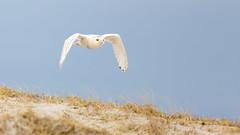 Week 2 Composition:Rule of Thirds Motion (arlene sopranzetti) Tags: snowy owl winter ibsp island beach state park dunes nj dogwood2019