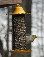finch on the feeder (primpenny1) Tags: bird finch yellow feeder wildlife