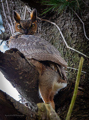 Great Horned Owl, NY. (stephenwalshphoto) Tags: