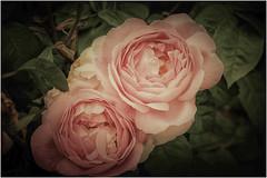 roses ... (miriam ulivi) Tags: miriamulivi nikond7200 fiori flowers rose roses nature macro