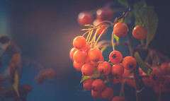 Red Berries (Dhina A) Tags: sony a7rii ilce7rm2 a7r2 a7r kaleinar mc 100mm f28 kaleinar100mmf28 5n m42 nikonf russian ussr soviet 6blades manualfocus red berries bokeh