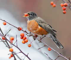 Happy Thanksgiving (arlene sopranzetti) Tags: robin bird crabapple autumn fall thanksgiving