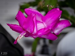 Christmas Cactus (Schlumbergera) (CJD imagery) Tags: winter canonef50mmf18stm canoneos80d flashphotography bokeh vase schlumbergera christmascactus plant flower essex elsenham england gb greatbritain uk unitedkingdom freitagsblümchen