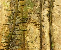 Boomschors/Bark (Tropisch regenwoud) (roelivtil) Tags: bark boomschors costarica2016 tropischregenwoud tropicalrainforest