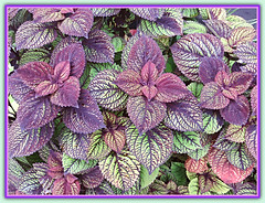 Winter Pastels (bigbrowneyez) Tags: leaves colours nature pastels gentle soft coleus natura foglie lovely pretty delightful fresh frame cornice fabulous designs elegant beautiful gorgeous striking stunning patterns textures repetition winterpastels silverytones focus fullframe clarity