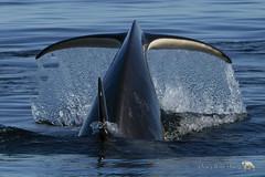Tail End (PamsWildImages) Tags: killerwhale nature wildlife canada naturephotographer wildlifephotographer canon britishcolumbia sealife tail