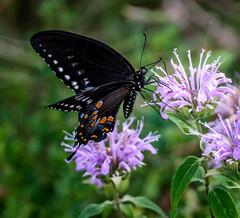 Shadow Dancer (Portraying Life, LLC) Tags: michigan unitedstates k1 da3004 fluttering butterfly nativelighting closecrop pentax ricoh flower meadow