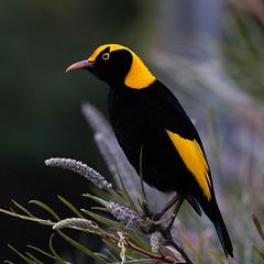 Regent Bowerbird (armct) Tags: sericulus chrysocephalus bowerbird bower bird australian native indigenous rainforest forest male