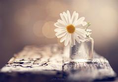 """""""Alone"""" (mariajoseuriospastor) Tags: bokeh flowers alone"""
