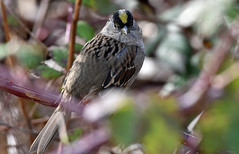 Showing off (Snixy_85) Tags: goldencrownedsparrow sparrow zonotrichiaatricapilla