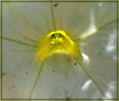 A flower invites the pollinators.. (Anni - with camera) Tags: flower light inmygarden yellow white shadow