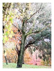 Autumn (Francisco (PortoPortugal)) Tags: 2512018 20181122fpbo8785edit árvores trees outono autumn yellow orange cores colours franciscoliveira