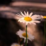 Flower Summer Bokeh -  6. Juni 2018 thumbnail