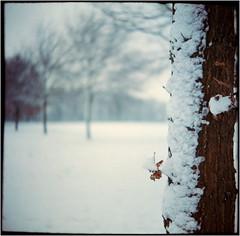 snow-coat (Ulla M.) Tags: snow tree baum schnee balgenkamera falter foldingcamera folder adox adoxgolf adoxmessgolf film filmphotography freihand filmshooter filmisnotdead fuji 6x6 mediumformat messgolf mittelformat canoscan8800f selfdeveloped selbstentwickelt tetenalcolortec homedeveloped umphotoart analogphotography analogue analog vintagecamera