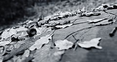 Un grand chêne (Un jour en France) Tags: noiretblanc noiretblancfrance canonef1635mmf28liiusm canoneos6dmarkii chêne gland arbre forêt feuille souche