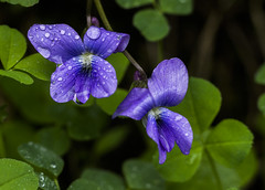 Common Blue Violet (Bernie Kasper (6 million views)) Tags: art berniekasper blue cliftyfallsstatepark color cliftyfalls d600 family flower floral flowers hiking indiana indianawildflowers jeffersoncounty light leaf leaves love madisonindiana macro madisonindianacliftyfallsstatepark nature nikon naturephotography new outdoors outdoor old outside photography park plant plants photos raw sigma spring statepark travel trail unitedstates usa violet commonblueviolet wildflower wildflowers